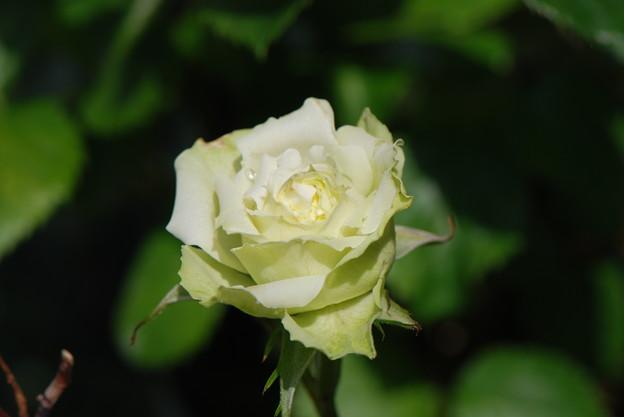 ペパーミントコルダナ2014.5.22