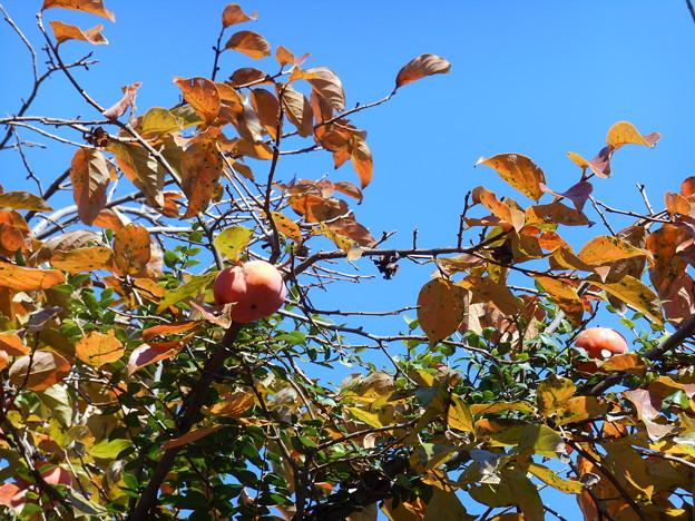青空に柿の実