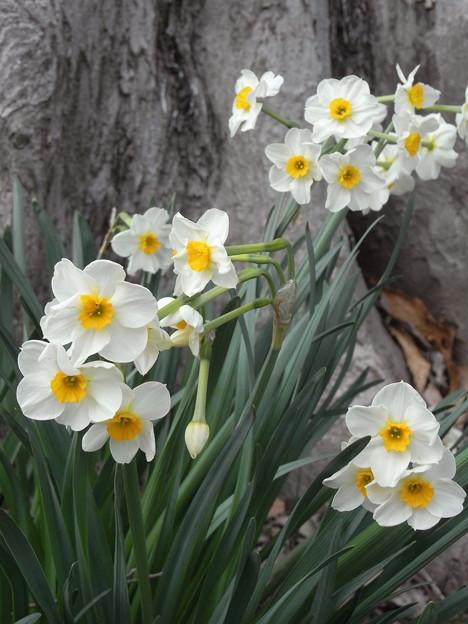 頂いた水仙も開花