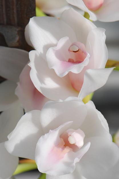 シンビジューム開花