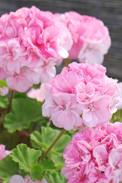 八重咲きゼラニュームピンク