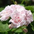 ばら咲きゼラニューム