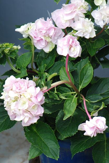 十二単 花茎帯化