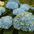 写真: 緑と青のアジサイ