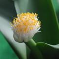マユハケオモトの花