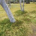 箱根美術館庭園のコケ