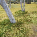 Photos: 箱根美術館庭園のコケ