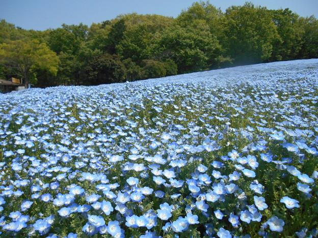 武蔵丘陵森林公園ネモフィラ