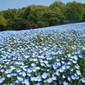 Photos: 武蔵丘陵森林公園ネモフィラ