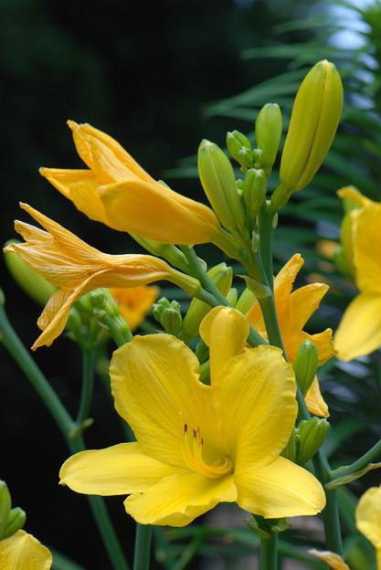 ヘメロカリス蕾から咲き終わり