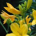 Photos: ヘメロカリス蕾から咲き終わり