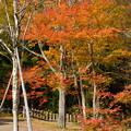 写真: 妙高山麓の紅葉