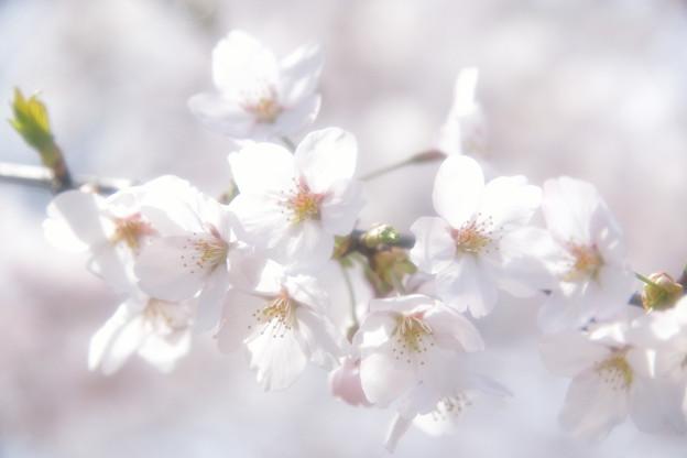 能登さくら駅の桜2