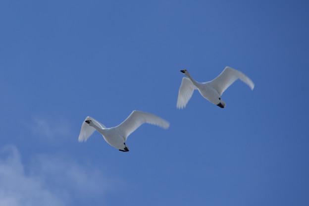 佐潟の白鳥