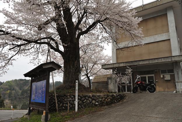 Photos: 白倉のカスミザクラ
