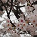 Photos: 白倉のサクラ