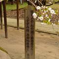 伊佐須美神社 薄墨桜