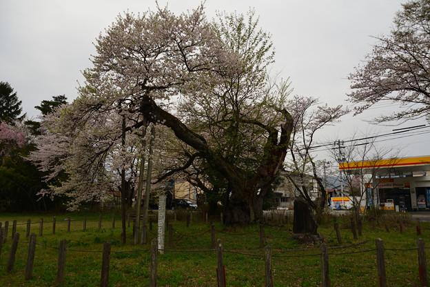 伊佐須美神社 高天原神代桜