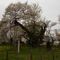 Photos: 伊佐須美神社 高天原神代桜