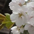 Photos: 虎の尾桜