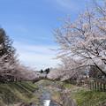 Photos: 観音寺川さくら並木DSC_5013