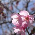 Photos: 観音寺川さくら並木DSC_5027