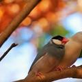 紅葉と文鳥
