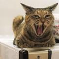 Photos: 噛まれたら痛そうな猫