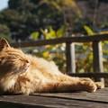 三渓園の猫1