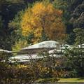 写真: 三渓園の大銀杏1