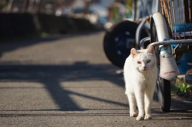沖島の猫7