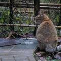 御誕生寺の猫12