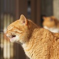 Photos: あくび直前の猫
