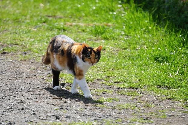 お散歩三毛猫