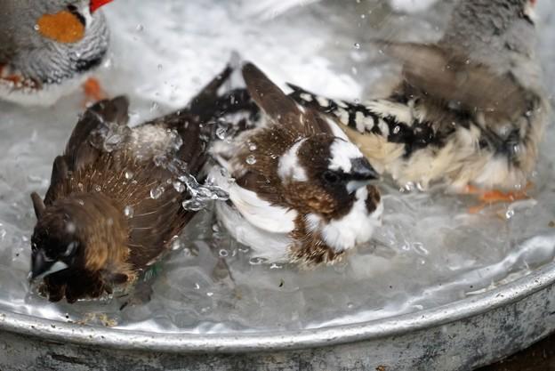 ジュウシマツとキンカチョウの水浴び1