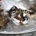 写真: ジュウシマツとキンカチョウの水浴び1
