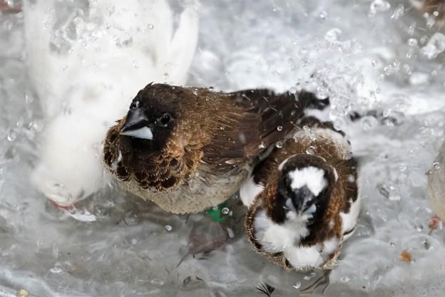 ジュウシマツとキンカチョウの水浴び2