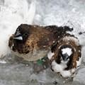 写真: ジュウシマツとキンカチョウの水浴び2