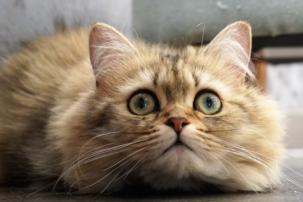 まんまる目の猫