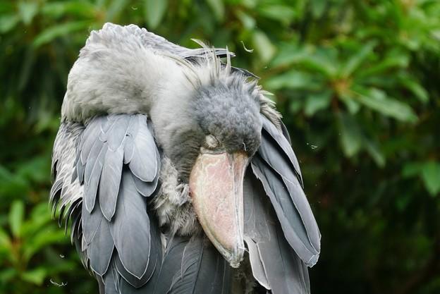 ハシビロコウの羽繕い