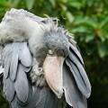 写真: ハシビロコウの羽繕い