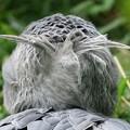 写真: ハシビロコウの後頭部