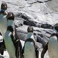 写真: 並ぶフンボルトペンギン