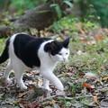 写真: 歩くはちわれ猫