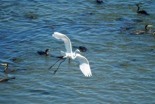 写真: カワウの漁に乱入するコサギ