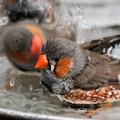写真: 水浴びキンカチョウとキンカドリル