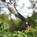 写真: 飛び立つオナガ