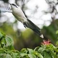 Photos: 飛び立つオナガ
