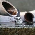 写真: 水も滴る良いエナガ1