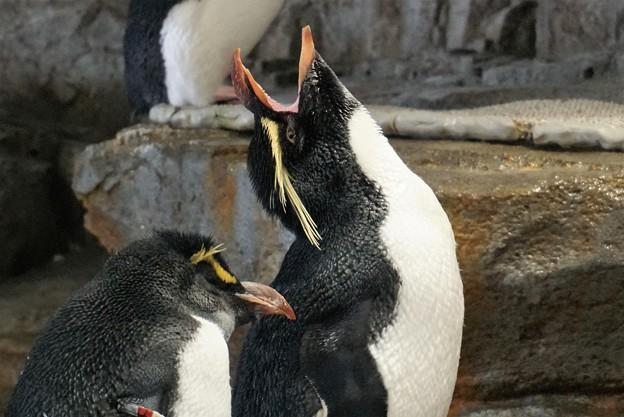 叫ぶイワトビペンギン